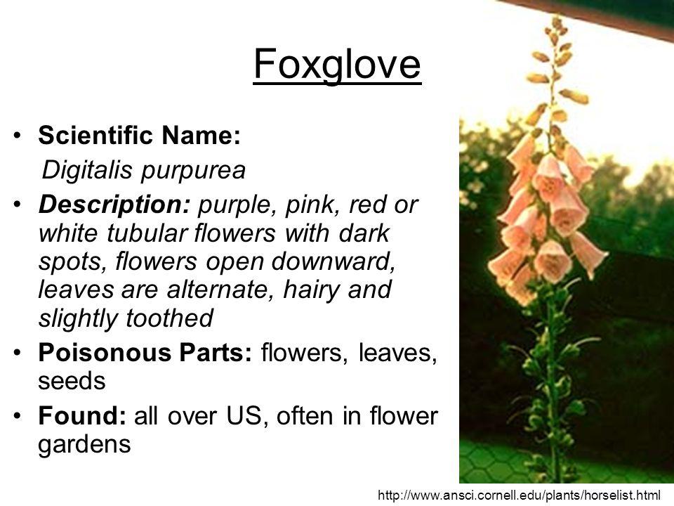 Foxglove Scientific Name: Digitalis purpurea