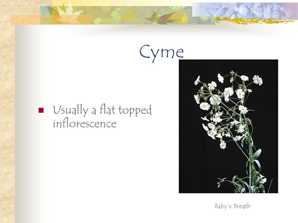Cyme Usually a flat topped inflorescence Baby's Breath