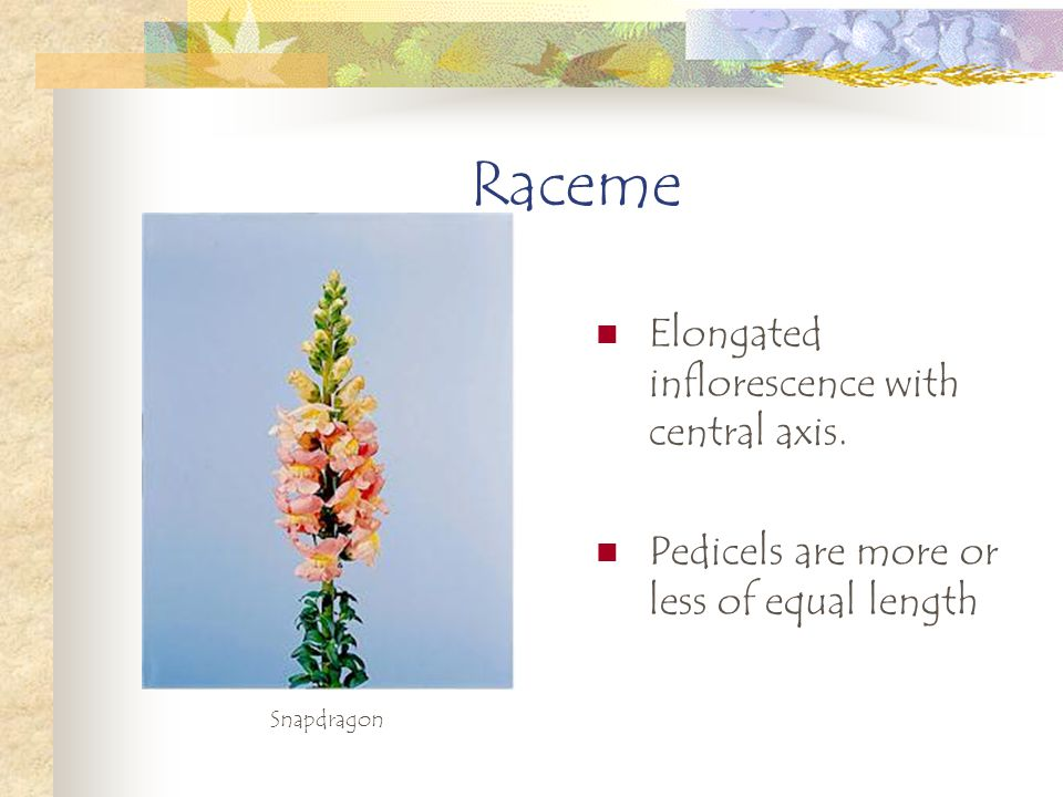 Raceme Elongated inflorescence with central axis.