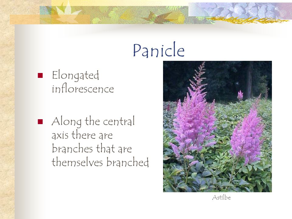 Panicle Elongated inflorescence