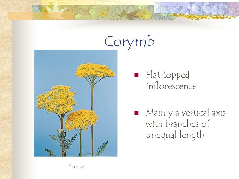 Corymb Flat topped inflorescence