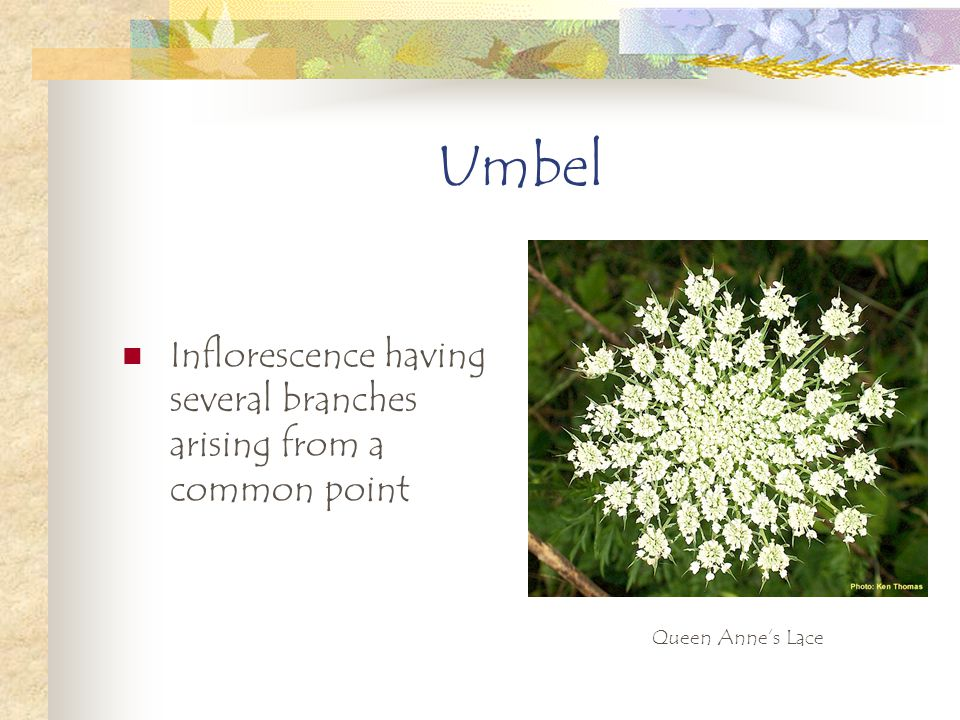 Umbel Inflorescence having several branches arising from a common point Queen Anne's Lace