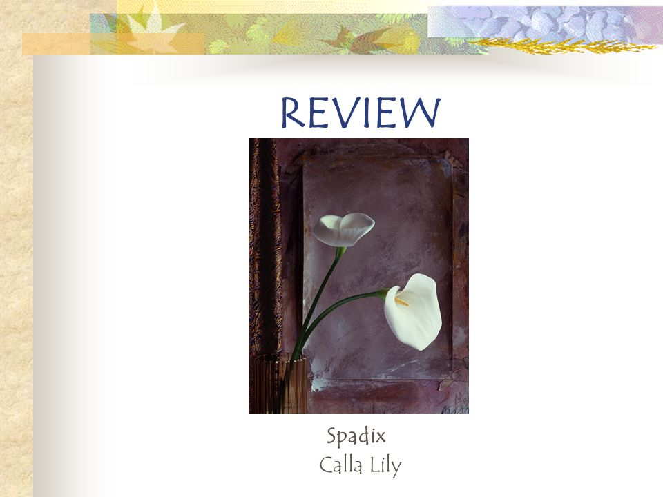 REVIEW Spadix Calla Lily