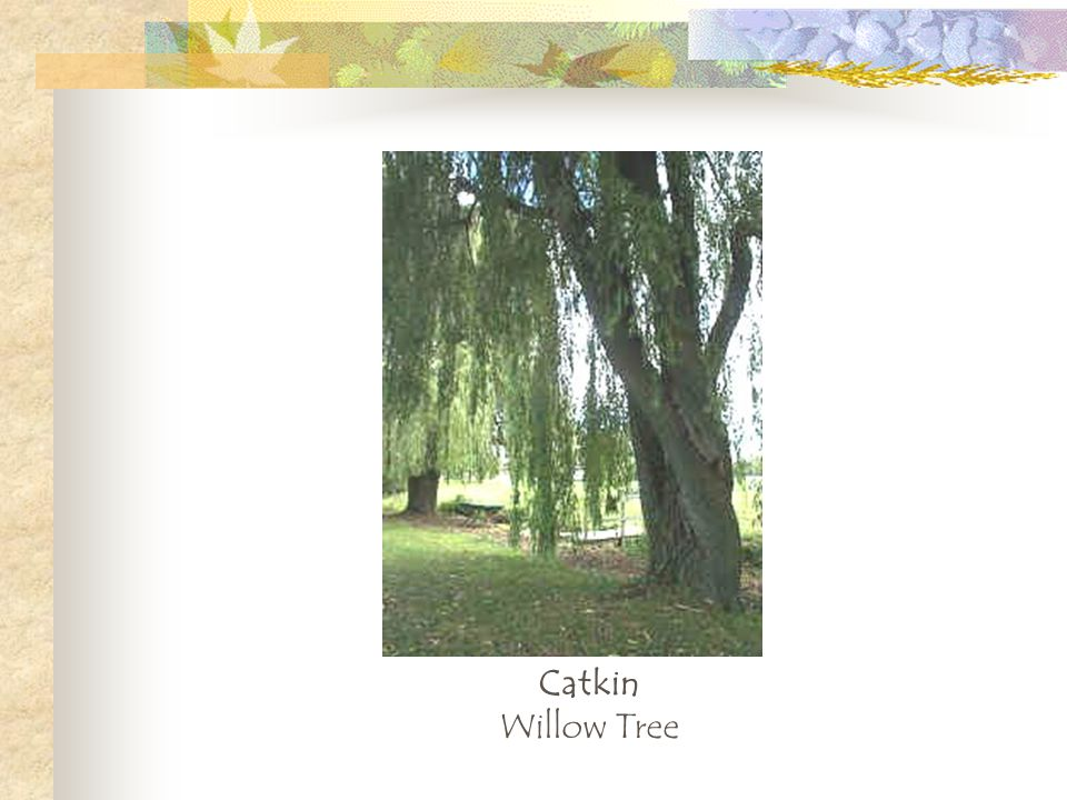 Catkin Willow Tree