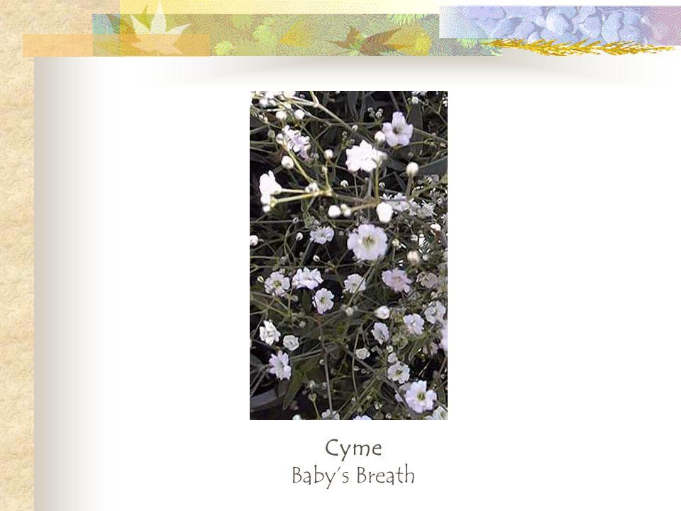 Cyme Baby's Breath