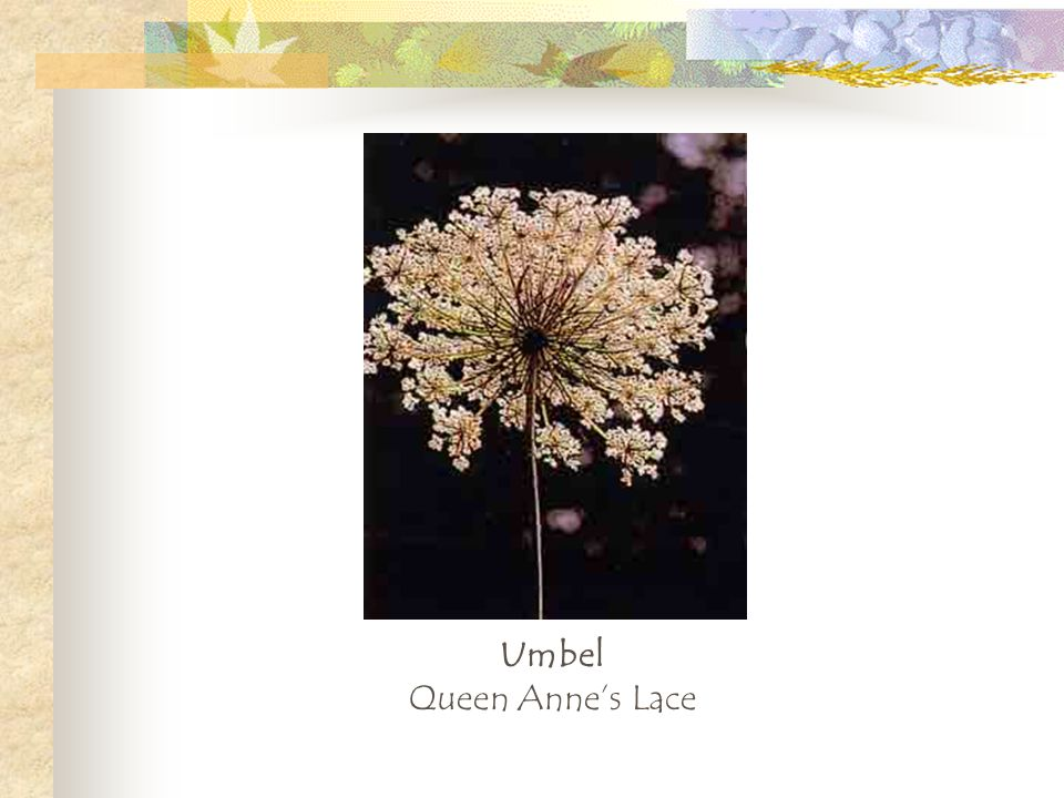 Umbel Queen Anne's Lace