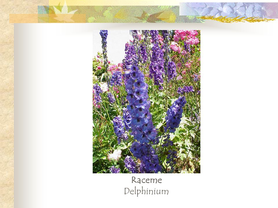 Raceme Delphinium