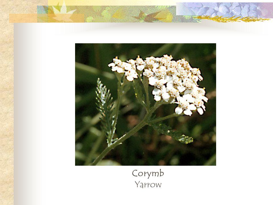 Corymb Yarrow