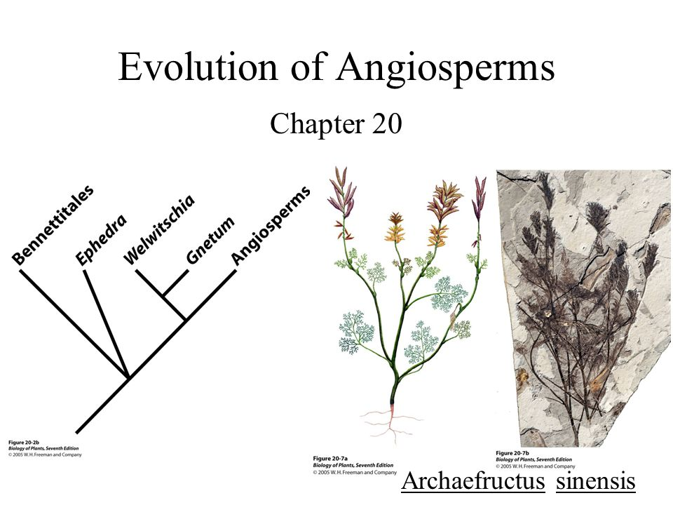 Evolution of Angiosperms