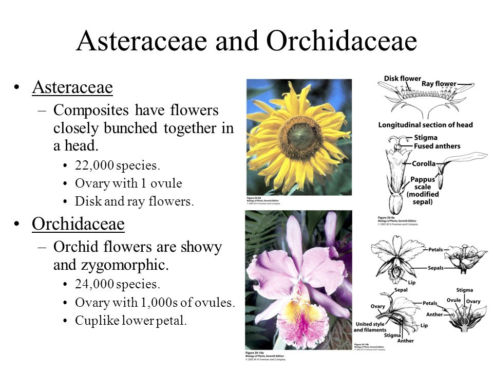 Asteraceae and Orchidaceae