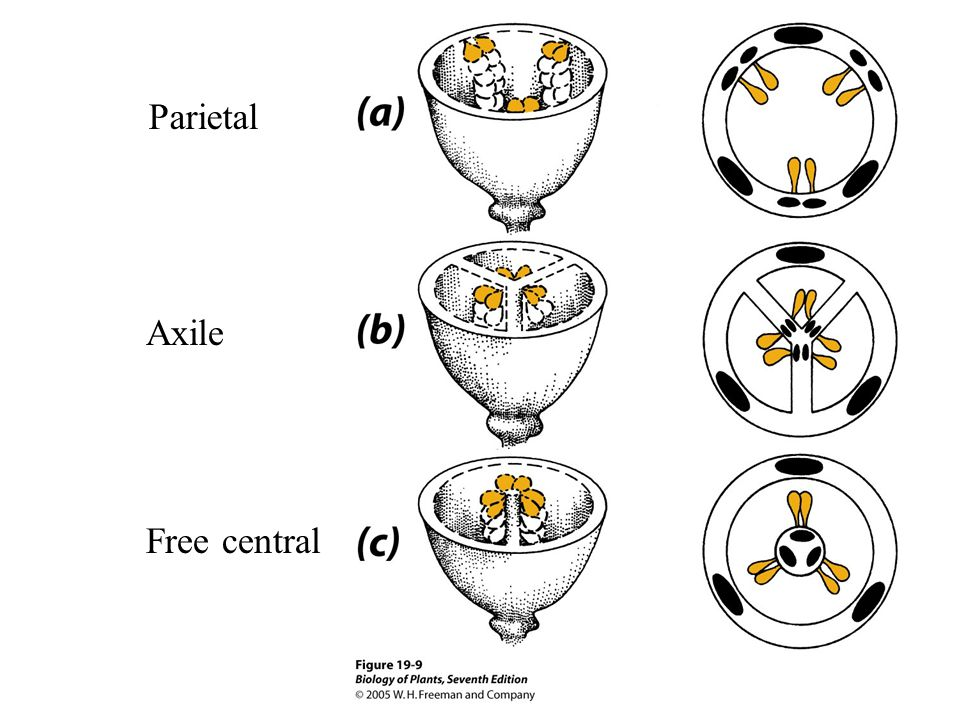 Parietal Axile Free central