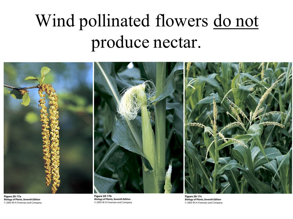 Wind pollinated flowers do not produce nectar.
