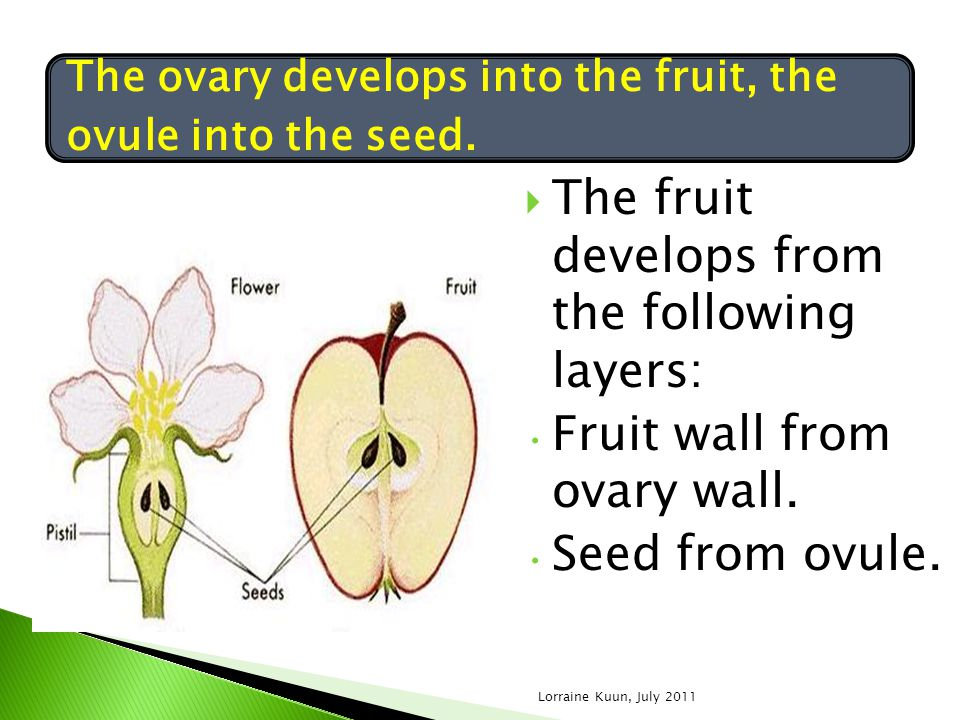 The fruit develops from the following layers: