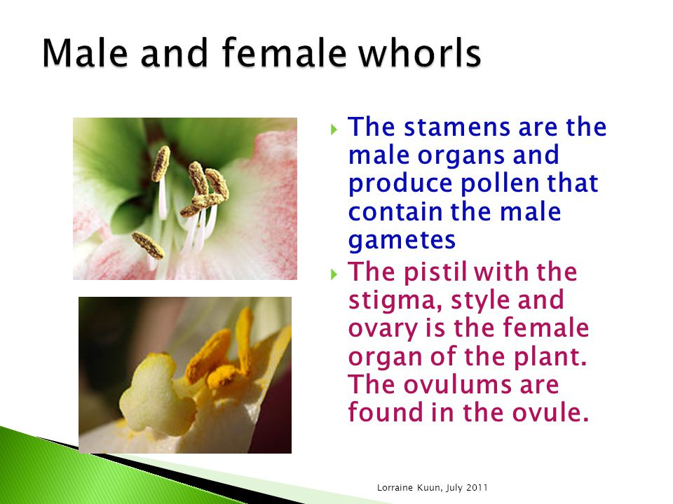 Male and female whorls The stamens are the male organs and produce pollen that contain the male gametes.