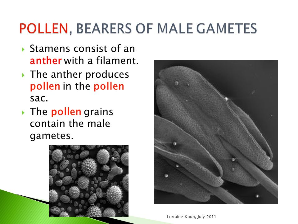 POLLEN, BEARERS OF MALE GAMETES