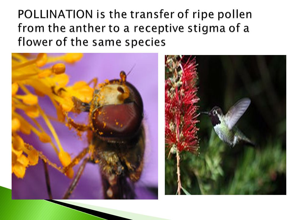 POLLINATION is the transfer of ripe pollen from the anther to a receptive stigma of a flower of the same species