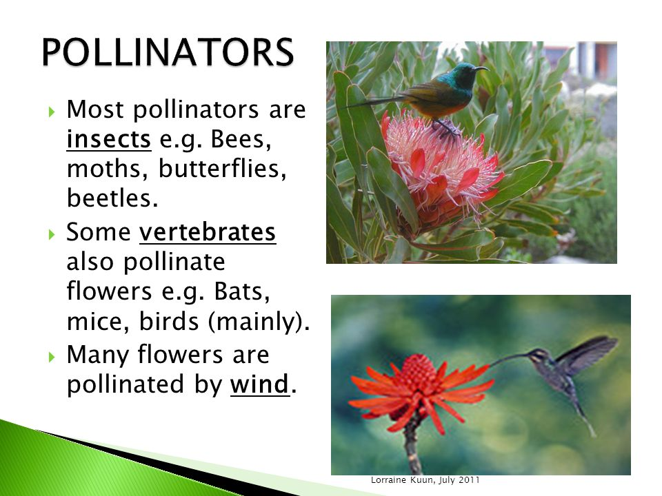 POLLINATORS Most pollinators are insects e.g. Bees, moths, butterflies, beetles.