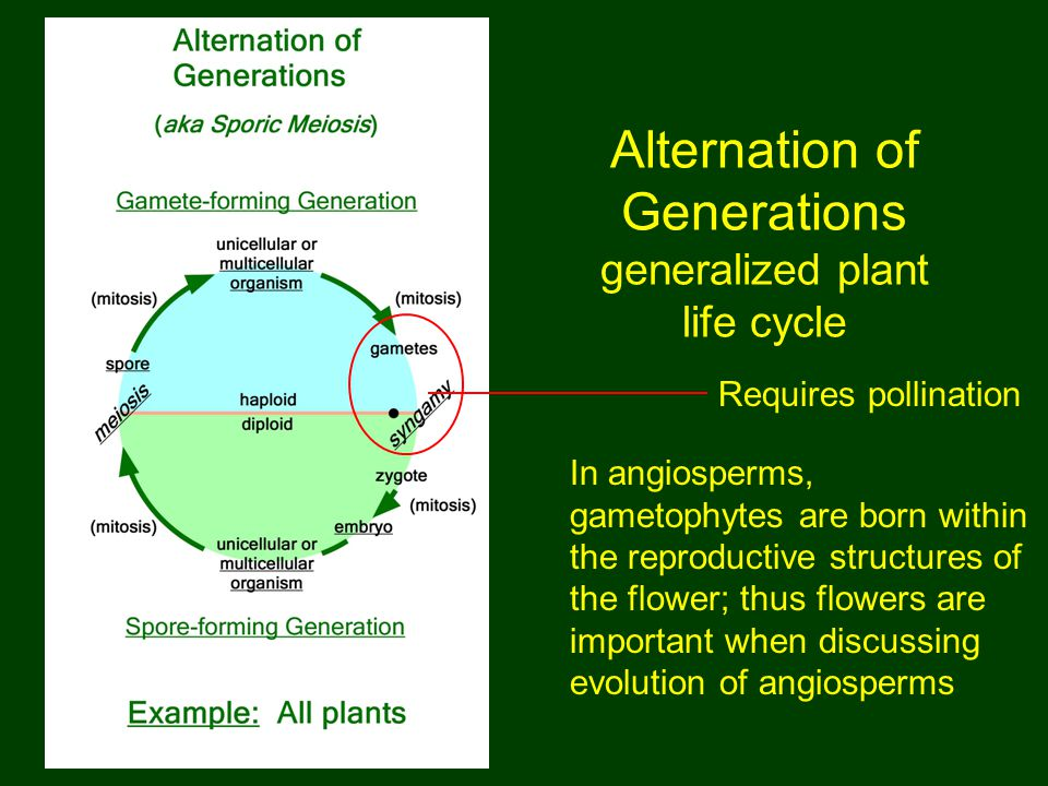 Alternation of Generations generalized plant life cycle