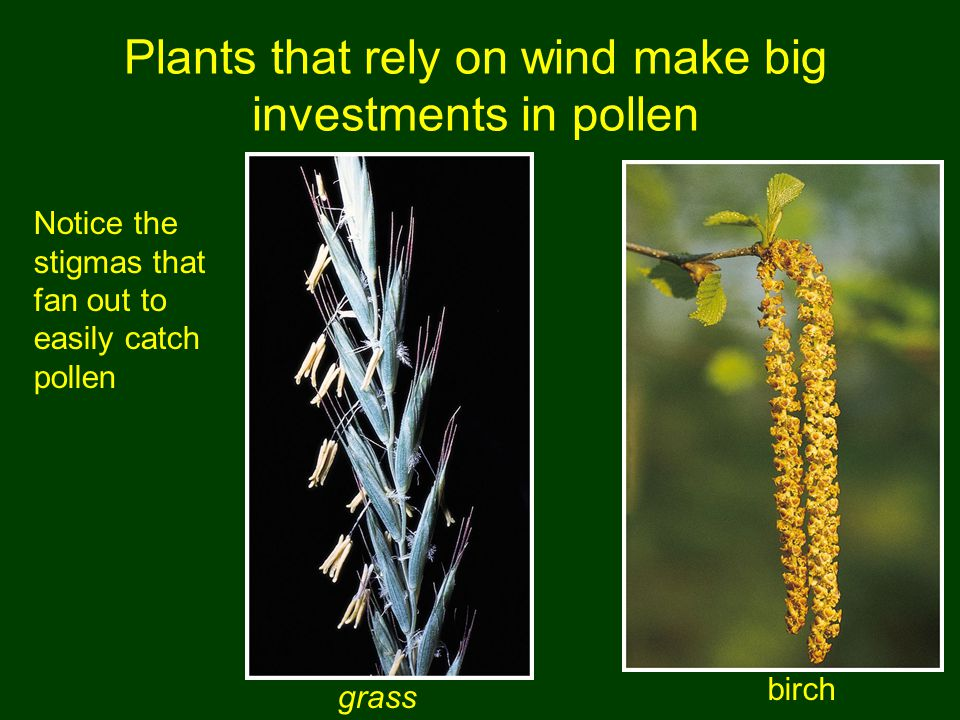 Plants that rely on wind make big investments in pollen