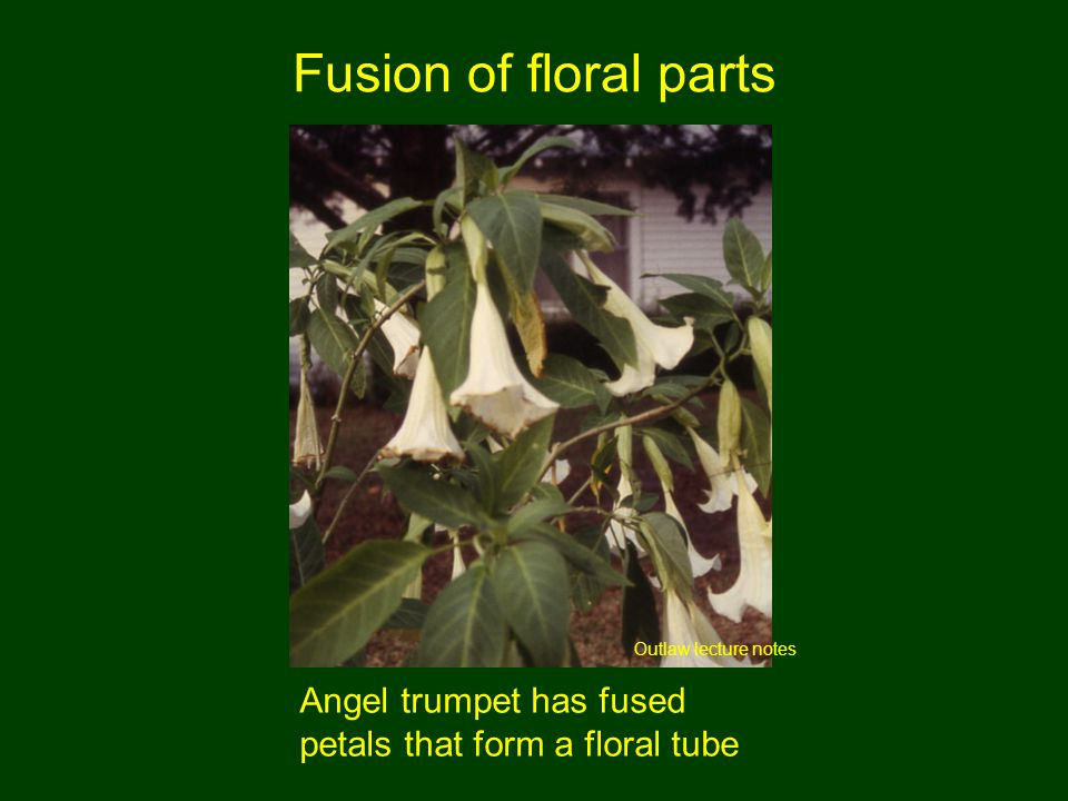 Fusion of floral parts Outlaw lecture notes Angel trumpet has fused petals that form a floral tube