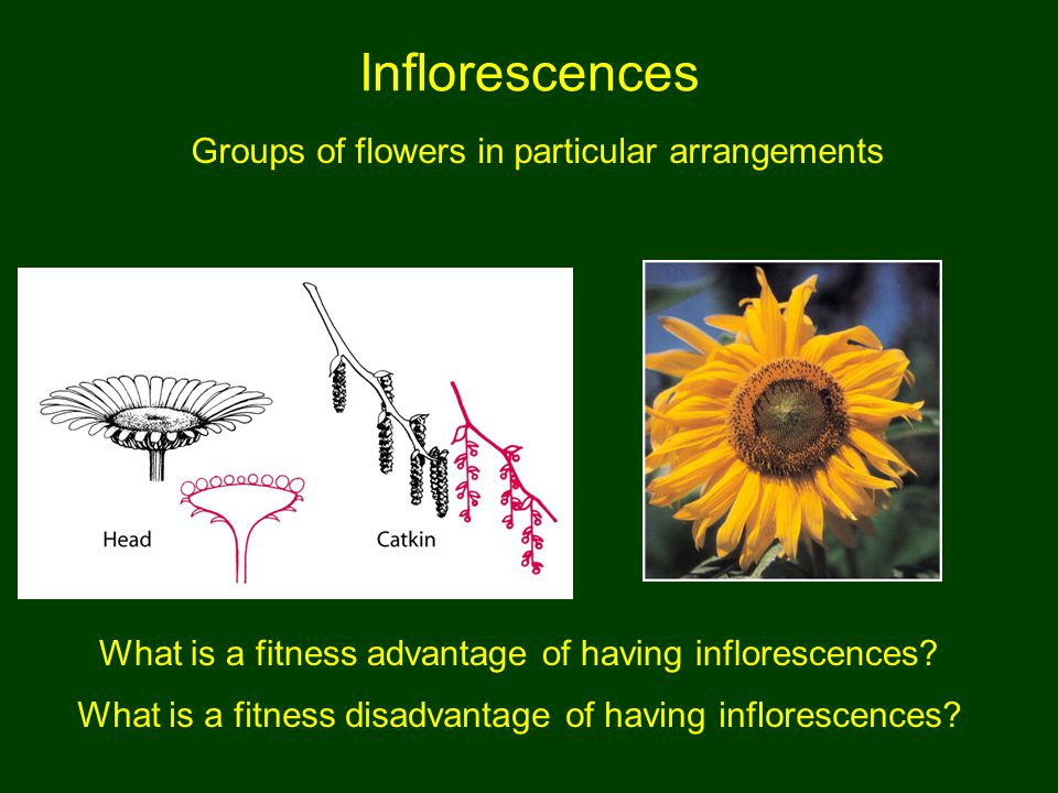 Inflorescences Groups of flowers in particular arrangements