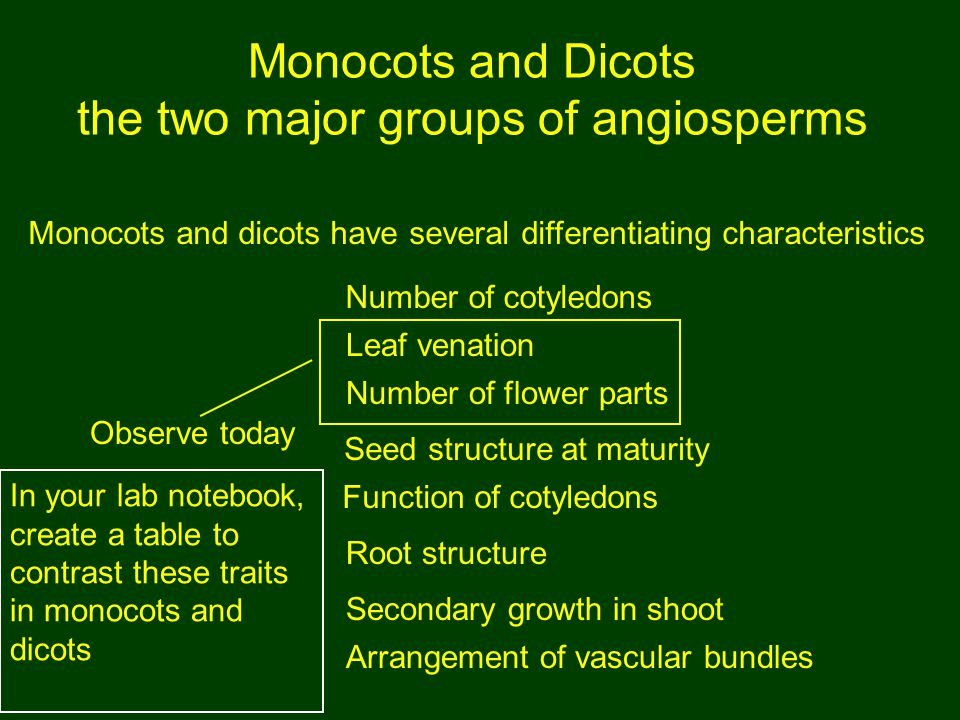 Monocots and Dicots the two major groups of angiosperms
