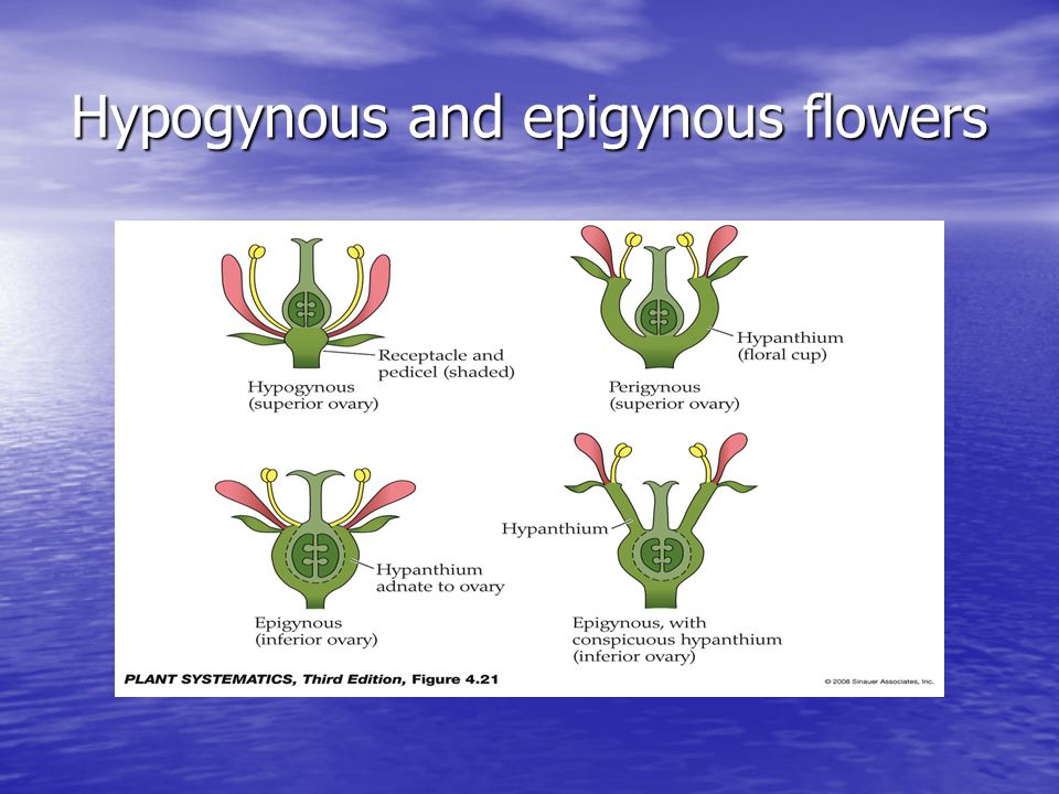 Hypogynous and epigynous flowers