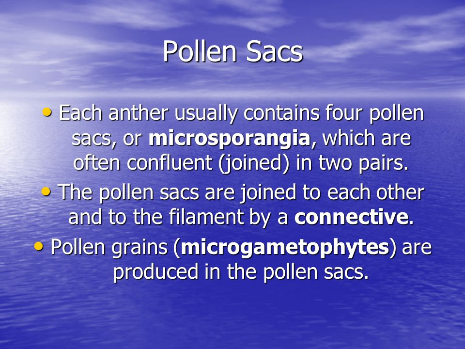 Pollen grains (microgametophytes) are produced in the pollen sacs.
