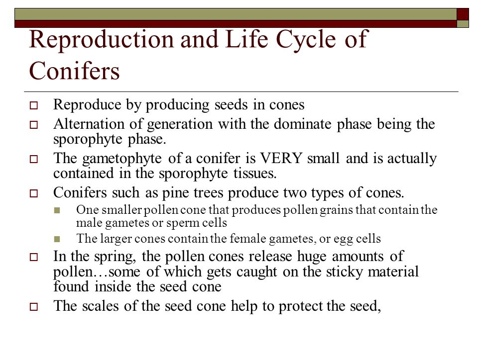 Reproduction and Life Cycle of Conifers