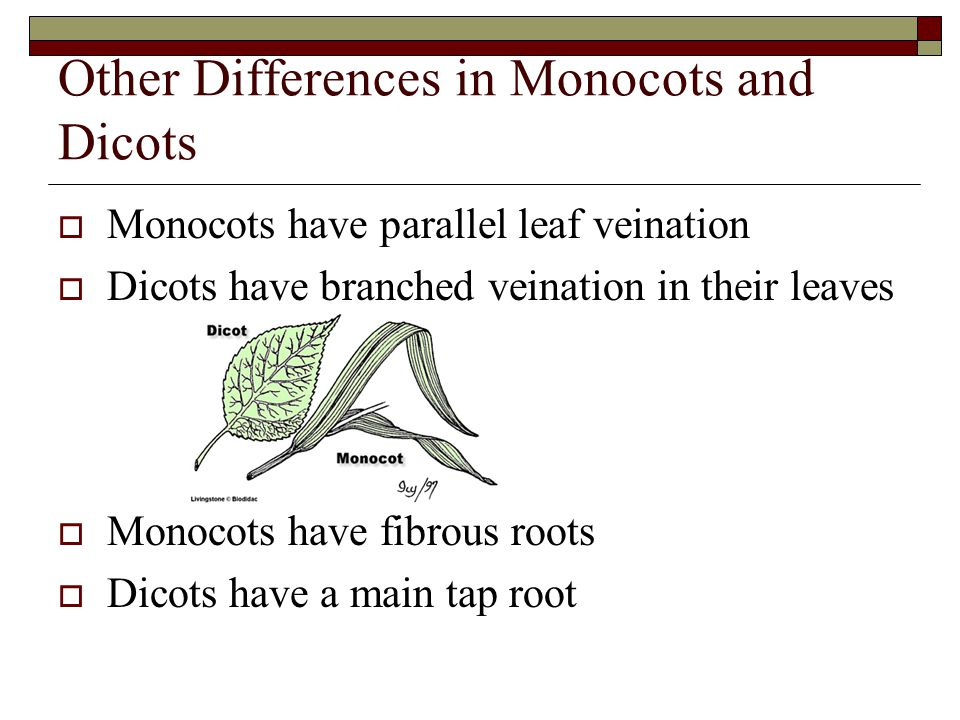 Other Differences in Monocots and Dicots