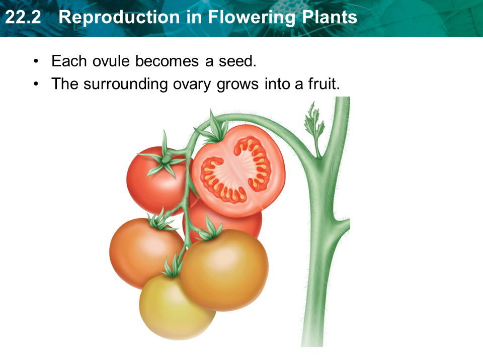 Each ovule becomes a seed.