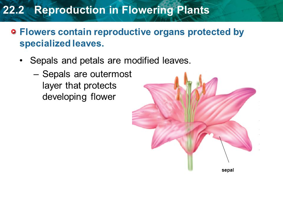 Flowers contain reproductive organs protected by specialized leaves.