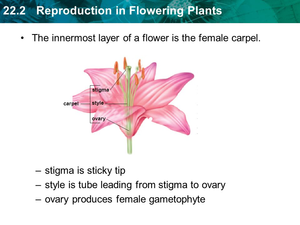 The innermost layer of a flower is the female carpel.