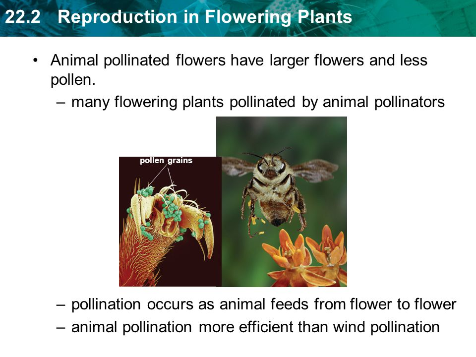 Animal pollinated flowers have larger flowers and less pollen.