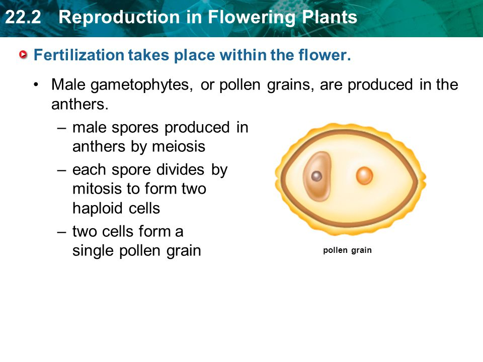 Fertilization takes place within the flower.
