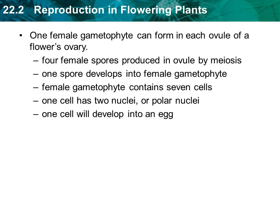 One female gametophyte can form in each ovule of a flower's ovary.