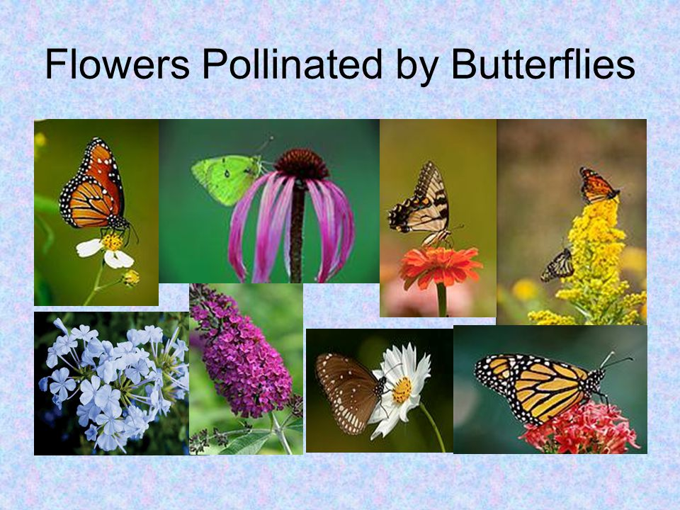 Flowers Pollinated by Butterflies