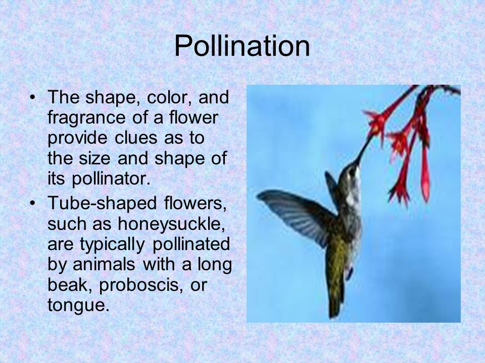 Pollination The shape, color, and fragrance of a flower provide clues as to the size and shape of its pollinator.