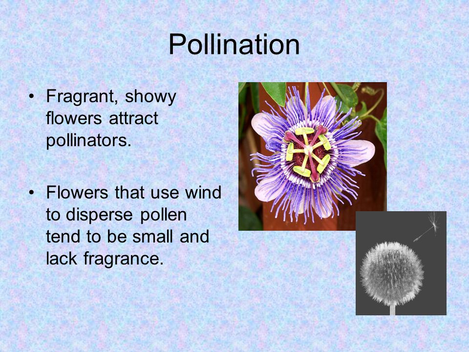 Pollination Fragrant, showy flowers attract pollinators.