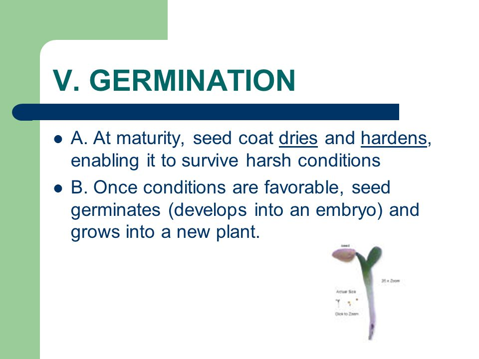 V. GERMINATION A. At maturity, seed coat dries and hardens, enabling it to survive harsh conditions.