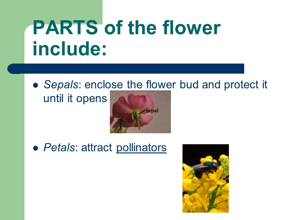 PARTS of the flower include: