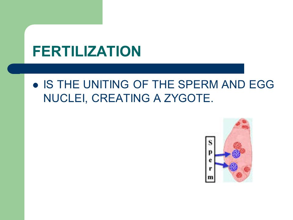 FERTILIZATION IS THE UNITING OF THE SPERM AND EGG NUCLEI, CREATING A ZYGOTE.