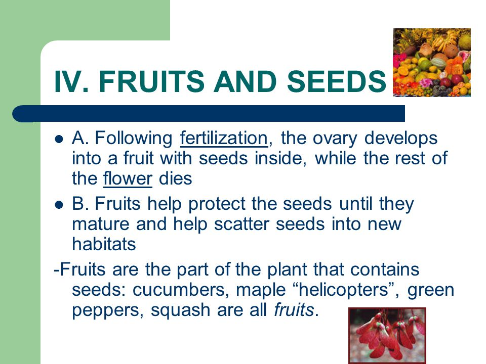 IV. FRUITS AND SEEDS A. Following fertilization, the ovary develops into a fruit with seeds inside, while the rest of the flower dies.