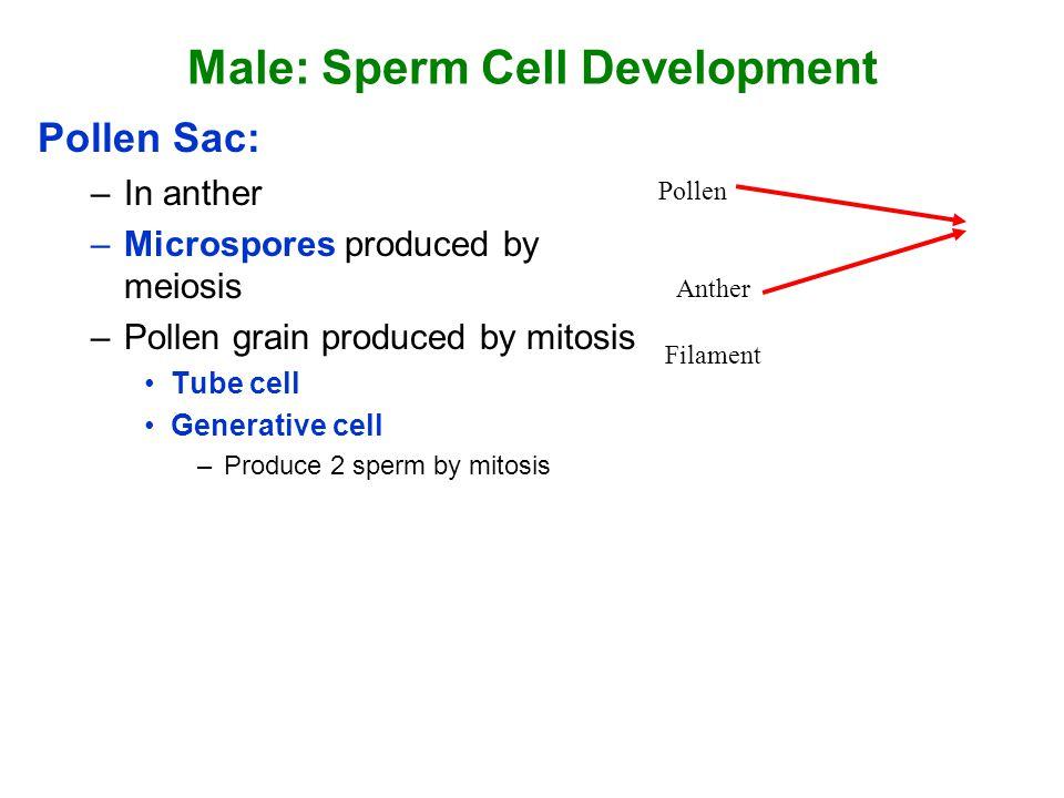Male: Sperm Cell Development
