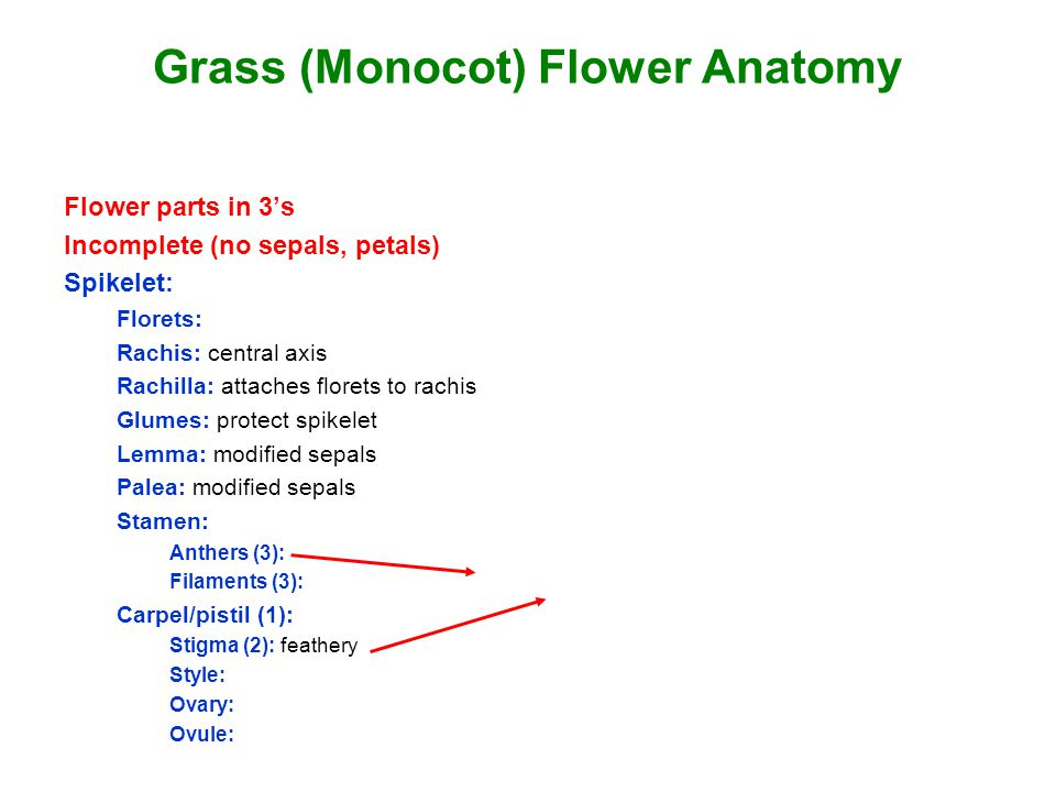 Grass (Monocot) Flower Anatomy