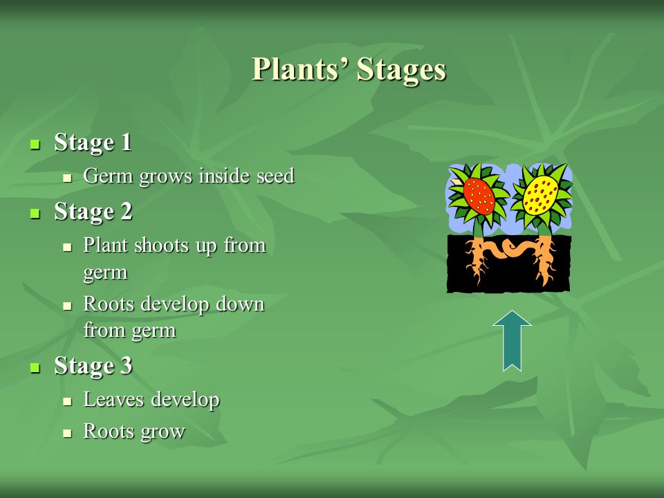 Plants' Stages Stage 1 Stage 2 Stage 3 Germ grows inside seed