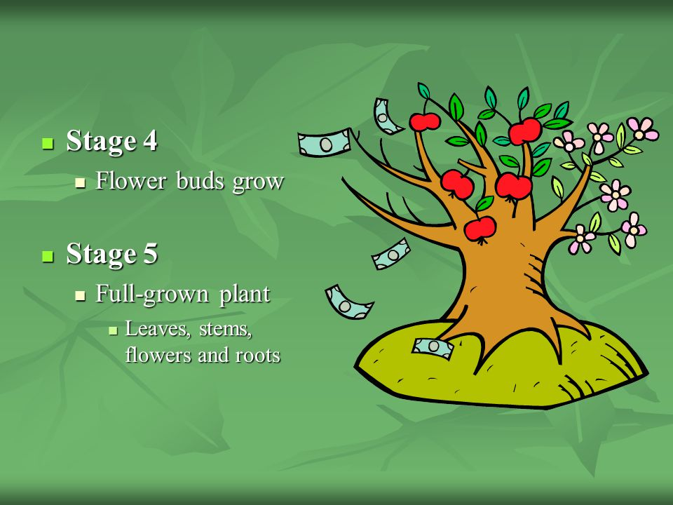 Stage 4 Stage 5 Flower buds grow Full-grown plant