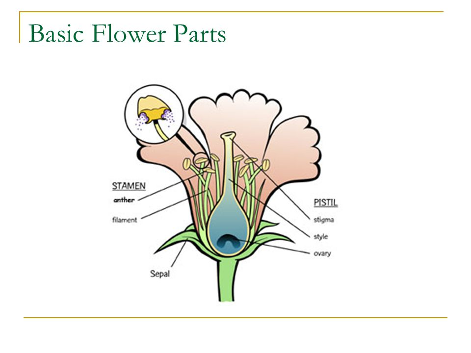 Basic Flower Parts