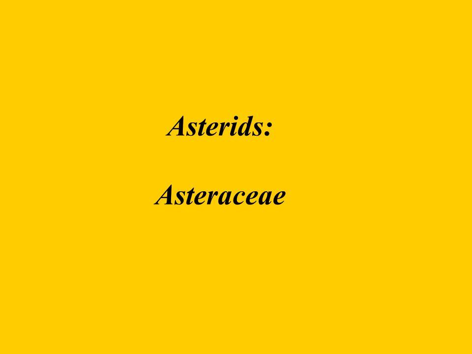 Asterids: Asteraceae