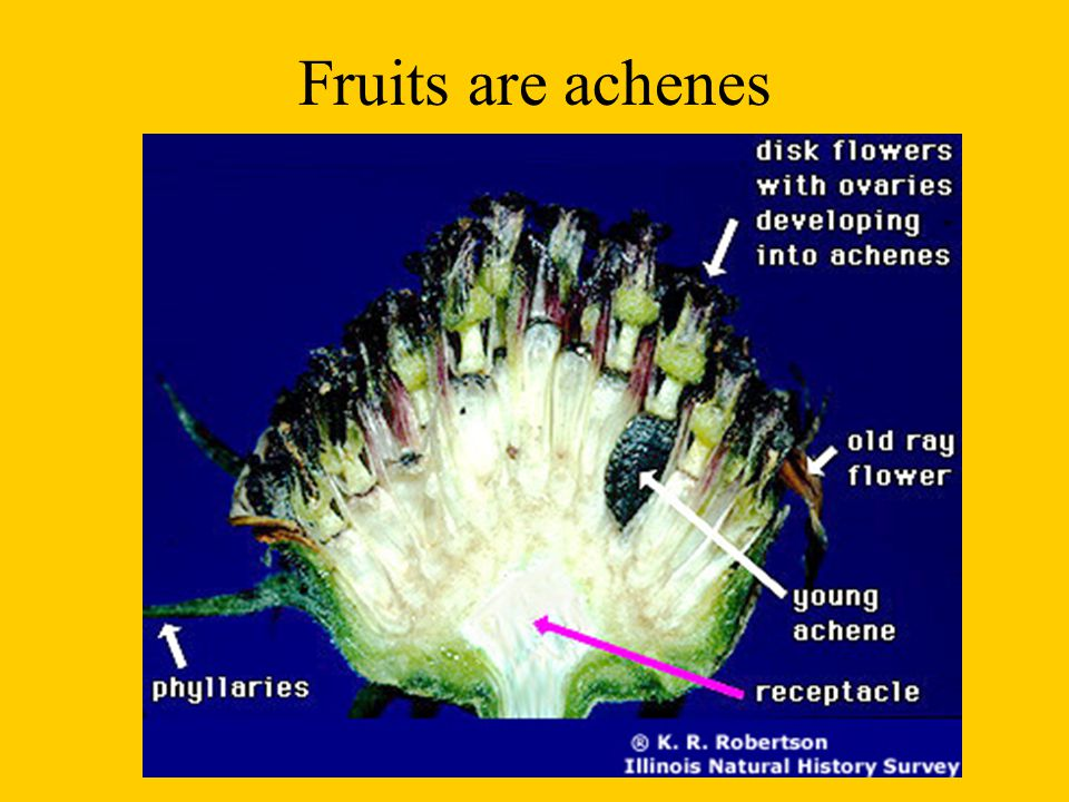 Fruits are achenes